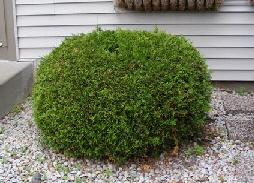 Thuja-occidentalis--Woodwardii--Woodward-Globe-Arborvitae by Midwest Gardening.jpg