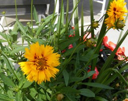 Annual-Coreopsis-by-Midwest Gardening.jpg