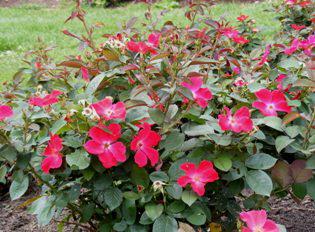 Homerun Shrub rose by Midwest Gardening.png