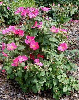 Pink-Home-Run-Shrub-Rose-bush-by-Midwest Gardening.jpg
