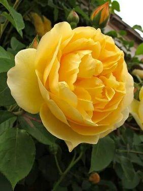 Tahitian Moon Easy Elegance Rose.jpg