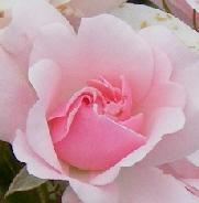 Bonica-Hardy-Shrub-Rose-bloom-by-Midwest Gardening.jpg