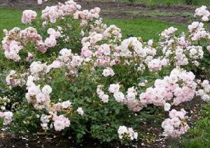 Bonica-Hardy-Shrub-Rose-by-Midwest Gardening.jpg