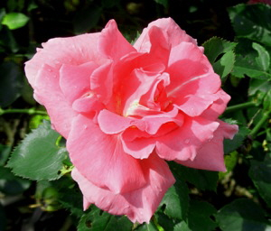 Carefree-Celebration-Radler-Shrub-Rose-by-Midwest Gardening.jpg