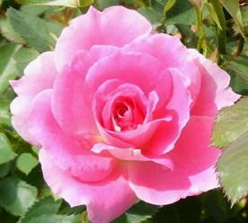 Carefree-Wonder-Meilland-Shrub-Rose-bloom-by-Midwest Gardening.jpg
