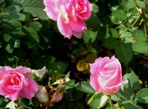 Carefree-Wonder-Meilland-Shrub-Rose-by-Midwest Gardening.jpg