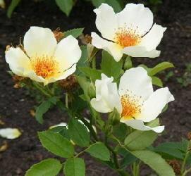 Golden-Wings-shrub-rose-blooms-by-Midwest Gardening.jpg