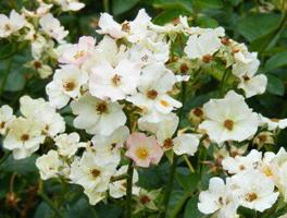 Lena-Shrub-Rose-flowers-by-Midwest Gardening.jpg