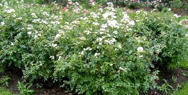 Lena-Shrub-Rose-by-Midwest Gardening.jpg