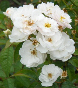 Ole-Hardy-Shrub-Rose-flower-by-Midwest Gardening.jpg