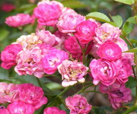 Sigrid-Shrub-Rose-flowers-by-Midwest Gardening.jpg