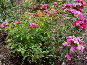 Sigrid-Shrub-Rose-bush-by-Midwest Gardening.jpg