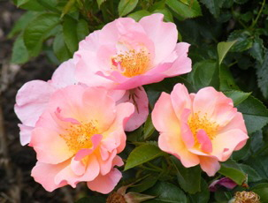 Species-Wild-Apple-Rose-Rosa-Pomifera-blooms-by-Midwest Gardening.jpg
