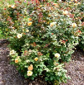 About-Face-Grandiflora-Rose-by-Midwest Gardening.jpg