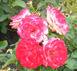 Cherry-Parfait-Grandiflora-Rose-blooms-by-by Midwest Gardening.jpg