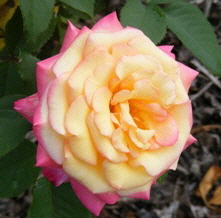 Dream-Come-True-Grandiflora-Rose-by Midwest Gardening.jpg