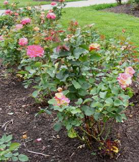 Mardi-Gras-Floribund-Rose-by-Midwest Gardening.jpg