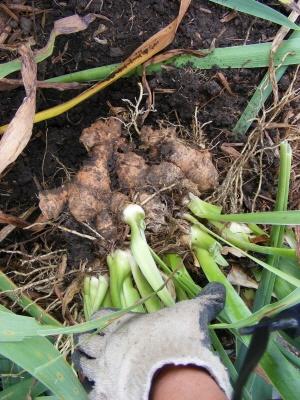 Large clump of young Iris