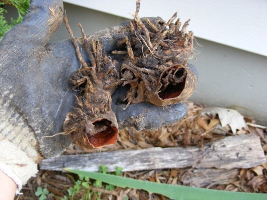 Dried up old rhizomes to discard