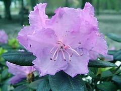 Rhododendron 'Northern Starburst'.jpg