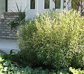 Salix purpurea 'Nana' Dwarf Blue Leaf Arctic Willow.jpg