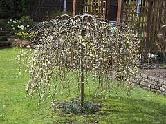 Salix caprea 'Kilmarnock'.jpg
