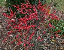 Ilex verticillata 'Red Sprite'.jpg