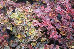 Euonymus fortunei 'Emerald and Gold' winter color.jpg