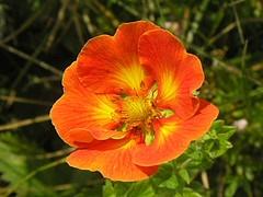 Potentilla fruticosa 'Sir William Rollinson'.jpg