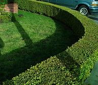Privet hedge.jpg
