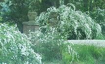 Privet, large flowering.jpg