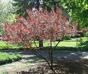 Purple Leaf Plum pruned to tree form.jpg