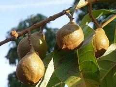 Indian-Horse-Chestnut-fruit.jpg