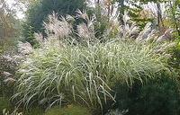 Maiden Grass Silvergrass