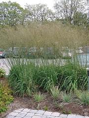 Molinia 'Skyracer' Moor Grass.jpg