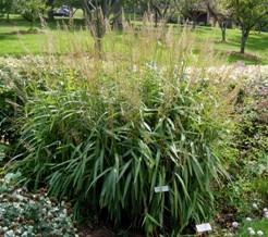 Spodiopogon sibericus 'Silver Spike Grass' by TOG.jpg