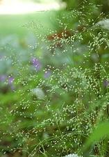 Tufted Hairgrass Northern Lights.jpg
