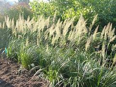 Calamagrotstis brachytrica Korean Feather Reed Grass