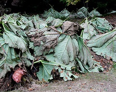 large leaves for winter protection.jpg