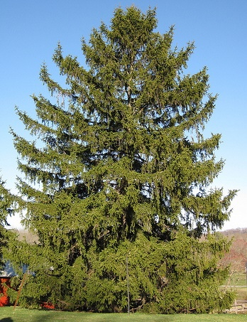 Picea abies Norway Spruce by Jay Pastore.jpg