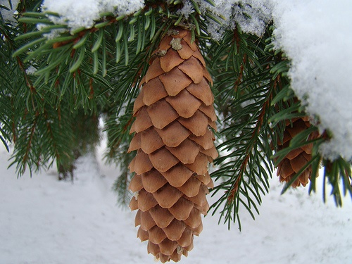 Picea abies Norway Spruce by Dave Hosford.jpg