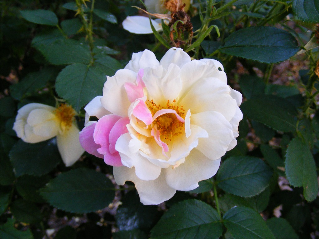 My Topaz Jewel Rugosa Rose is showing a bit of its' heritage. One of its parents is pink 'Belle Poitevine' and the other parent is yellow 'Golden Angel'. -
