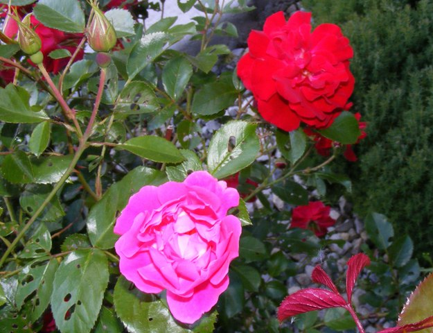After many years a pink rose showed up on my Red Ribbons rose. One of the parents is pink 'Walzertraum'. -