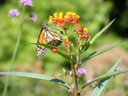 Butterfly Weed by Midwest Gardening.JPG