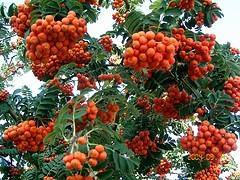 Sorbus decora mountain ash berries.jpg