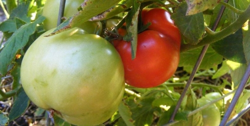 Ripening Tomatoes by Midwest Gardening.jpg