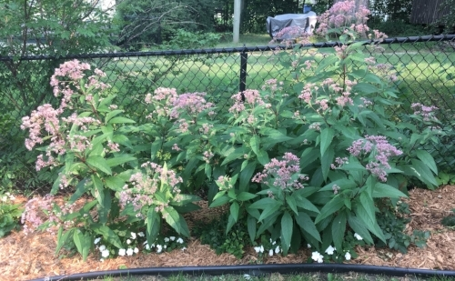 Along the Fence - The Joe Pye Weed really took off this year.  It is doing an excellent job not only of covering the fence, but burying the Astilbe!  The Astilbe will need a new home next year.