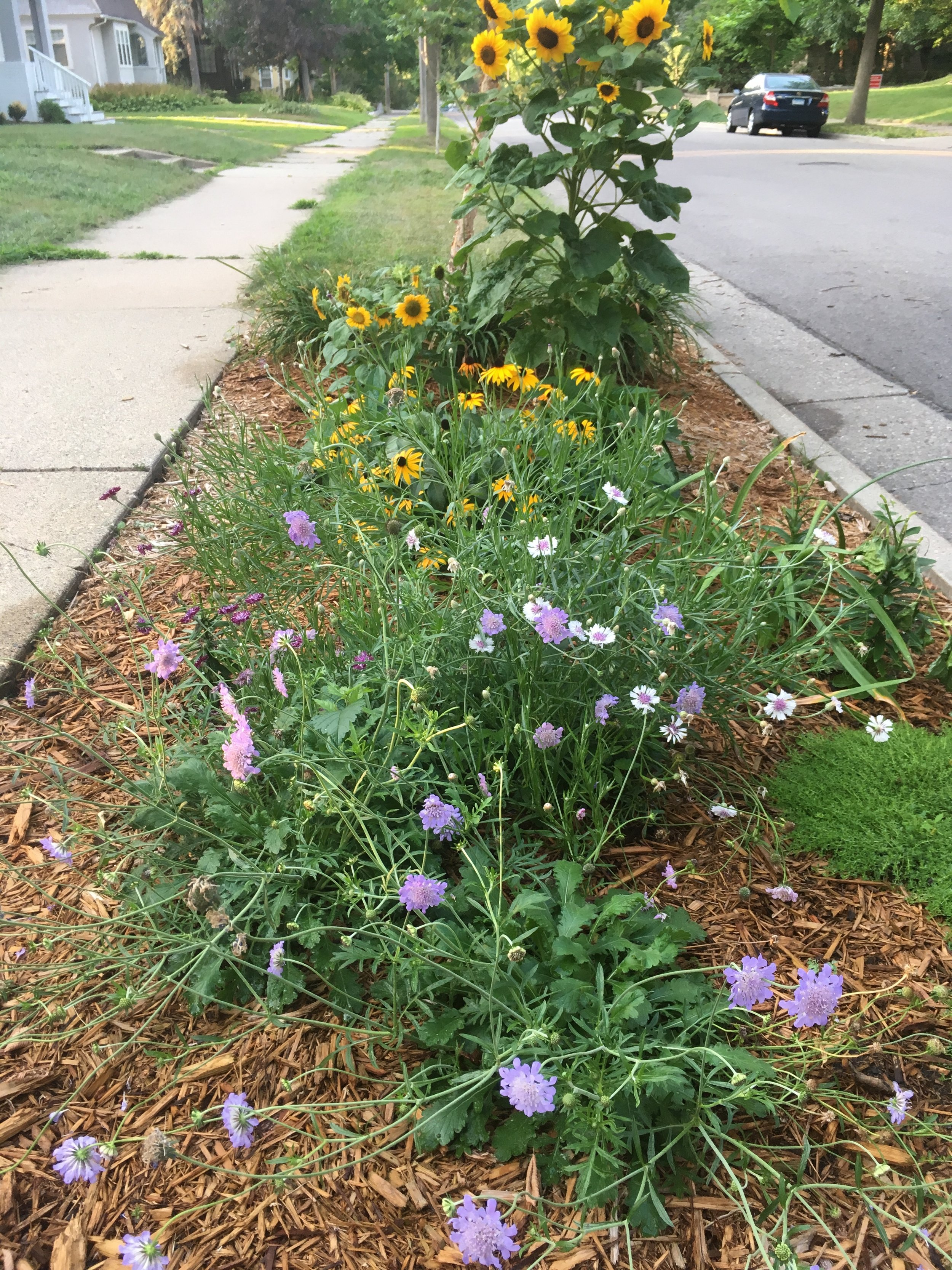 The Hell Strip - And finally, the boulevard garden is doing well.  Annual sunflowers and bachelor buttons are temporary while the perennials take hold and spread out.
