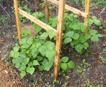 Pole Beans Trellis.jpg