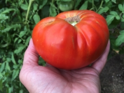 Sainte Lucie Tomato by Midwest Gardening
